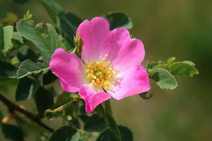 Цветок дикой розы