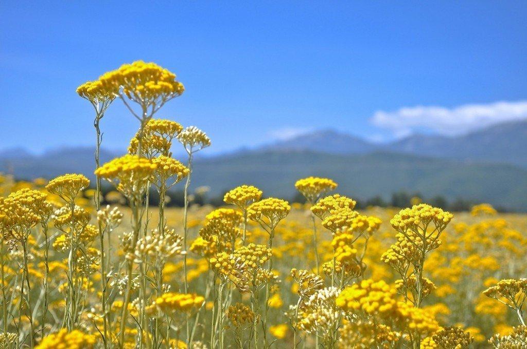 Лечебные свойства травы бессмертник