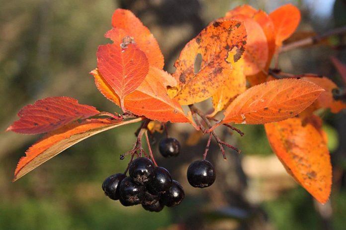 Понижение давления черноплодной рябиной