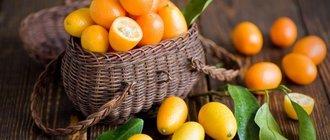 Кумкват: польза и вред для здоровья