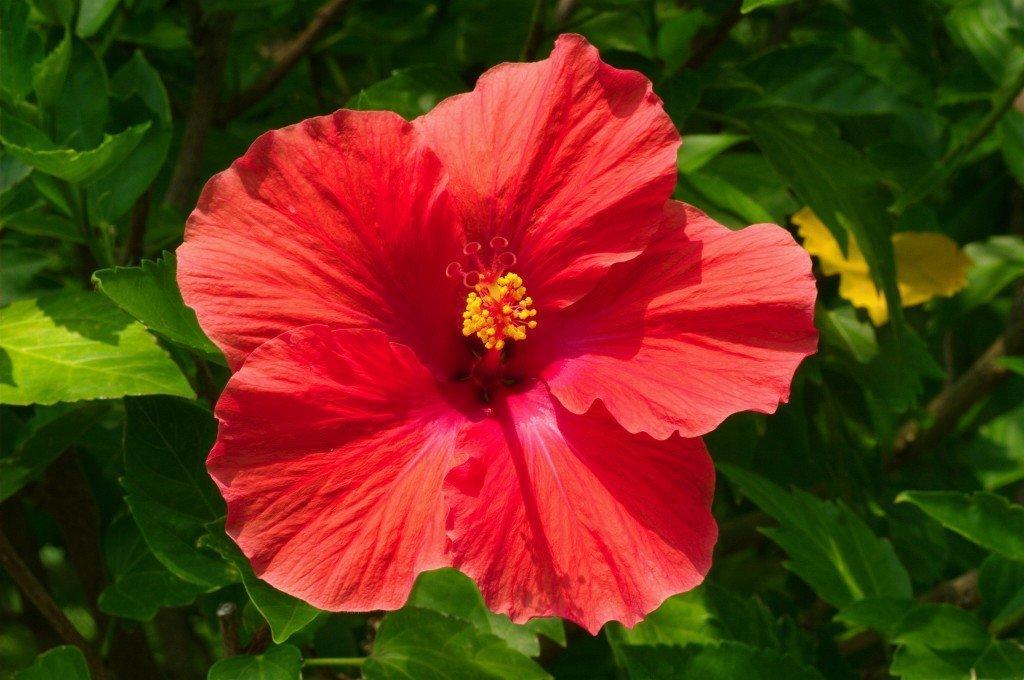 Цветок гибискус - полезные свойства чая и противопоказания, лепестки гибискуса полезные свойства.