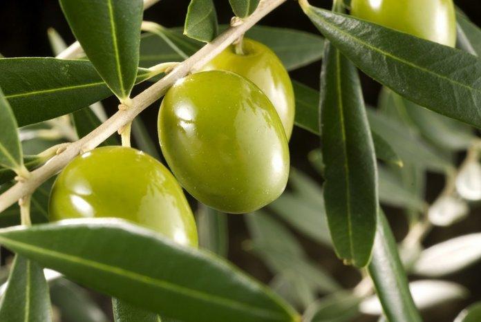 Характеристика оливок