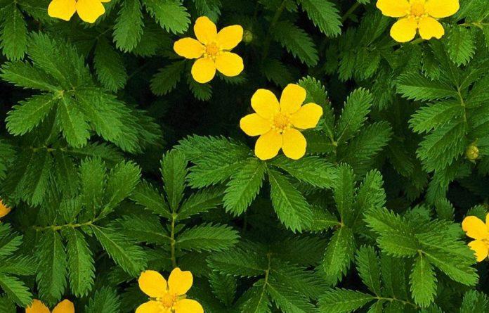 Трава и цветки репешка