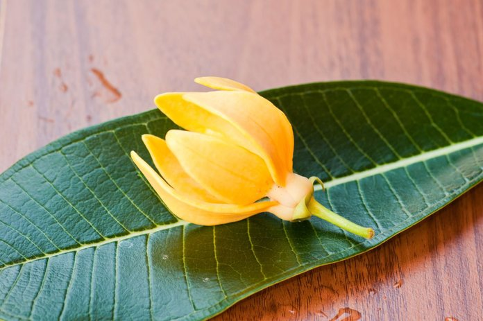 Цветок и листья иланг-иланг