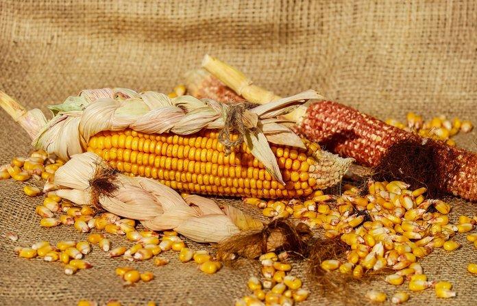 Высушенные зерна ярче и жестче