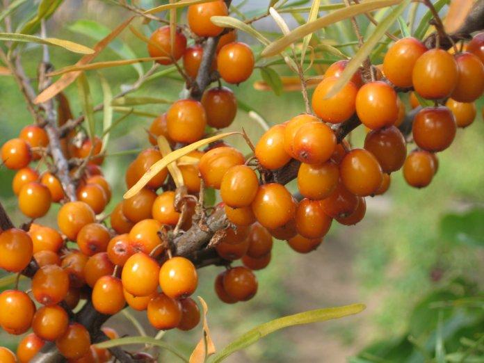 Облепиха входит в разряд кустарниково-древесных растений