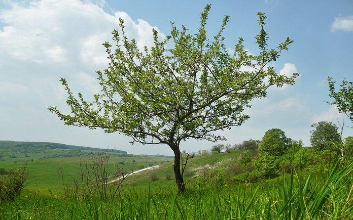 Как выглядит дерево лесной яблони