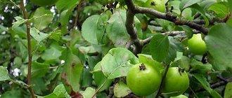 Лечебные свойства лесной яблони
