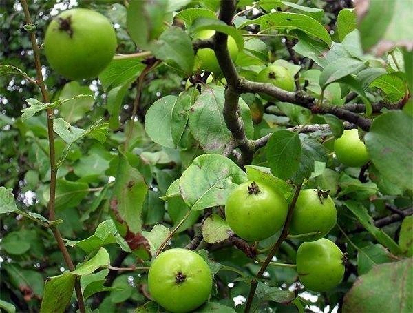 Дикая лесная яблоня