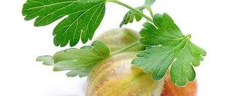 Крыжовник — полезные свойства и рецепты