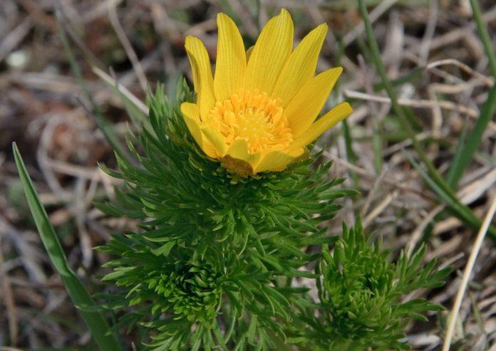 Цветок адониса весеннего