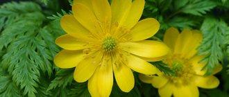 Лечебные свойства адониса весеннего