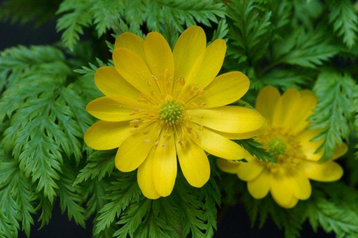 Лечебные свойства весеннего адониса