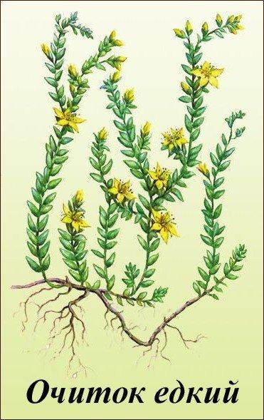 Седум (Очиток)- выращивание в открытом грунте
