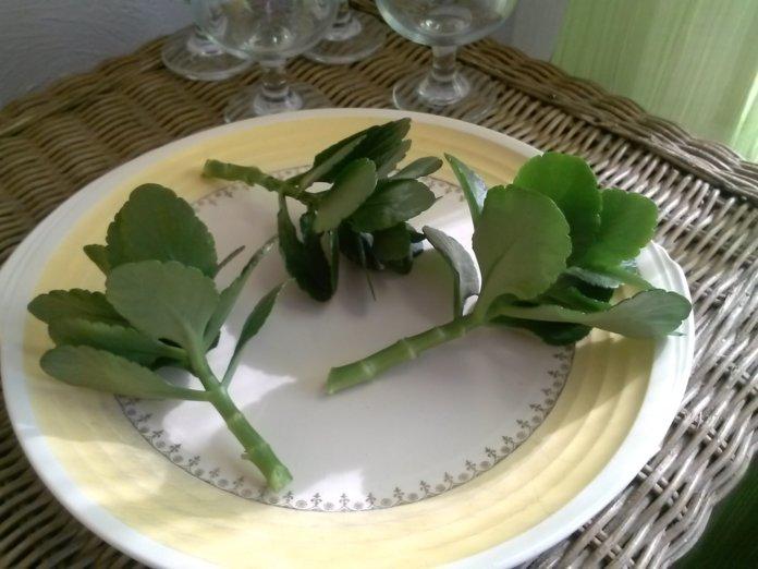 Свежие листья каланхоэ
