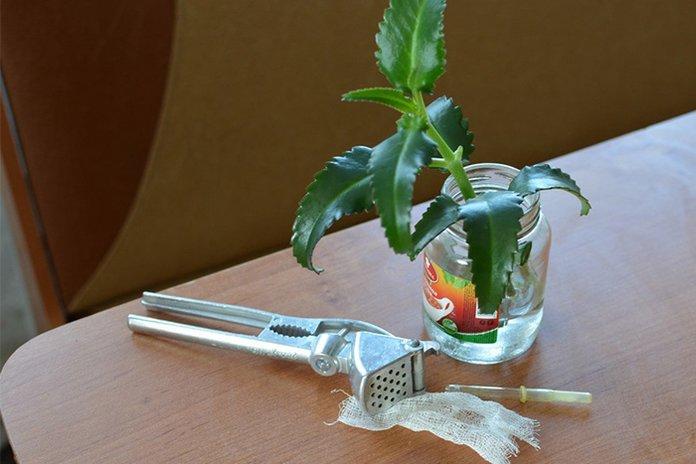 Каланхоэ и инструменты для приготовления лекарства