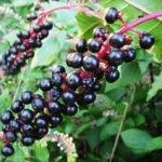 Лаконос американский: лечебные свойства и применение