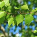 Чем полезны листья березы — применение и рецепты