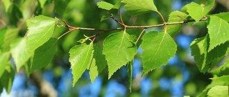 Чем полезны листья березы для организма?