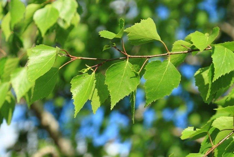 Березовые листья - лечебные свойства и противопоказания. Применение листьев березы в народной медицине