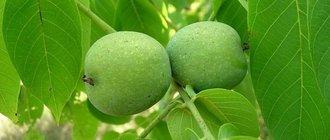 Листья грецкого ореха лечебные свойства и применение