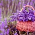Масло лаванды применение и свойства — выращивание лаванды