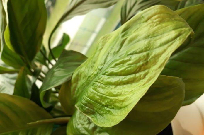 Засохшие листья спатифиллума
