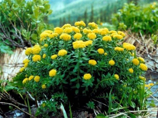 Золотой корень: лечебные свойства и противопоказания