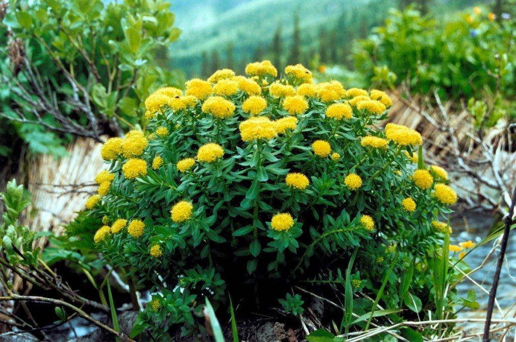 Золотой корень - лечебные свойства и противопоказания