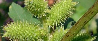 Трава дурнишник: лечебные свойства и противопоказания