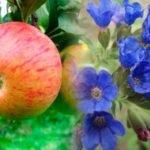 Яблоня медуница лекарственная: применение в народной медицине