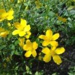 Желтушник лечебные свойства и противопоказания — рецепты с желтушником