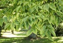Амурский бархат: лечебные свойства и противопоказания