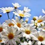 Полезные свойства и противопоказания к применению ромашки