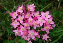 Трава золототысячник: лечебные свойства и противопоказания