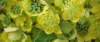 Володушка золотистая: лечебные свойства, применение