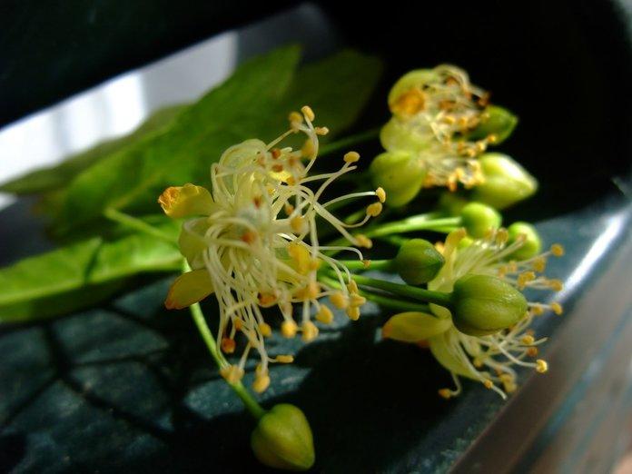 Лечебные свойства цветков липы