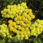 Бессмертник трава полезные свойства и применение