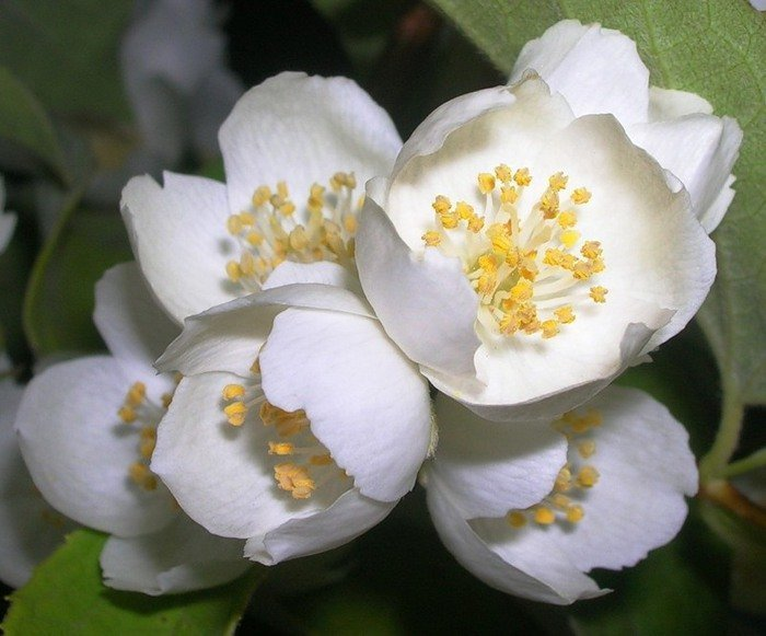 Цветок жасмин описание и полезные свойства