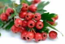 Боярышника лечебные свойства и рецепты приготовления на зиму