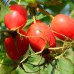 Как правильно приготовить отвар из плодов шиповника?