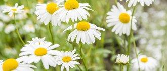 Ромашка: лечебные свойства и вред