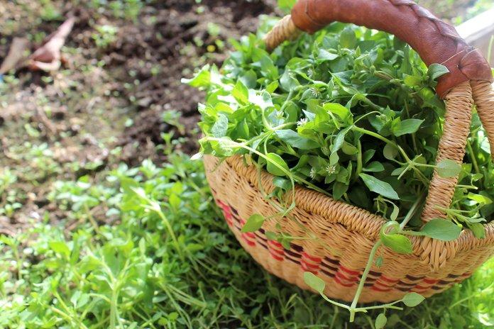 Собранная в саду трава мокрицы