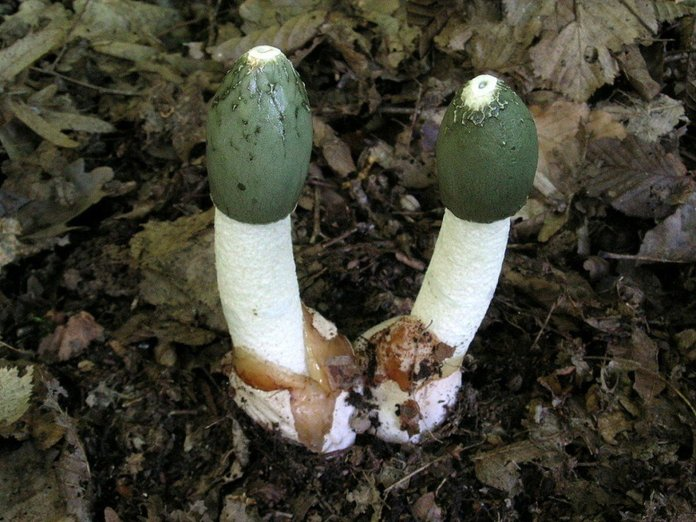 Гриб веселка - лечебные свойства и противопоказания, применения гриба веселки в народной медицине ( отзывы)