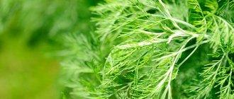 Божье дерево: лечебные свойства и противопоказания
