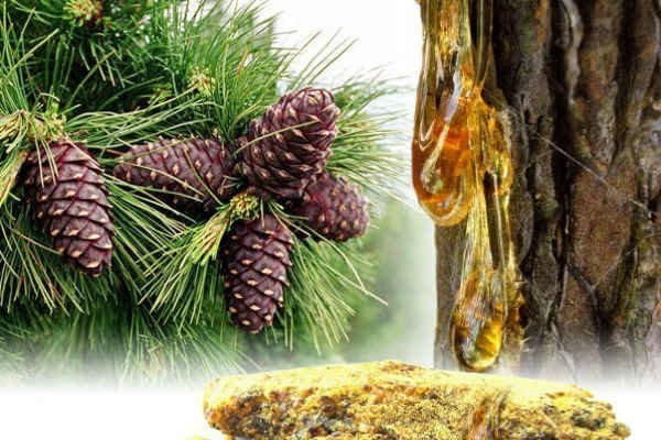 Живица кедровая лечебные свойства и противопоказания