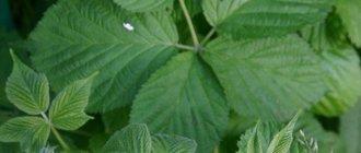 Листья ежевики: польза и вред