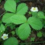 Листья лесной земляники свойства – польза и вред лесной земляники