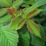 Польза листьев малины — чай из листьев малины