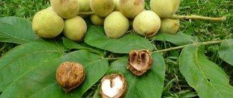 Орех маньчжурский: лечебные свойства